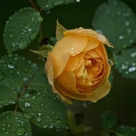 Yellow Rose in the Rain by Richard Cummings