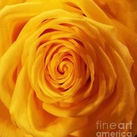 Yellow Rose Macro by Marcus Dagan
