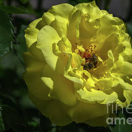 Yellow Rose With Guest by Michelle Meenawong
