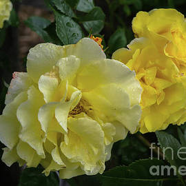 Yellow Roses by Michelle Meenawong