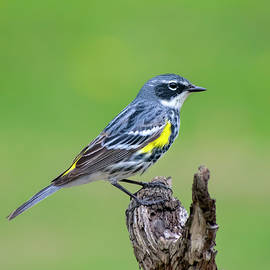 Yellow Rumped Warbler by Christina Rollo