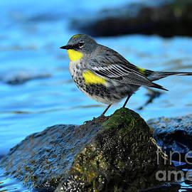 Yellow Rumped Warbler In Blue 2021 by John F Tsumas