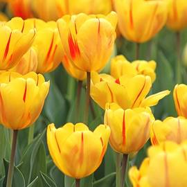 Yellow striped tulips by Gayle Miller