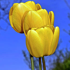 Yellow tulip trio  by Tibor Tivadar Kui