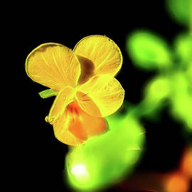 Yellow Viola by Kay Brewer