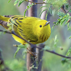 Yellow Warbler by Angie Birmingham