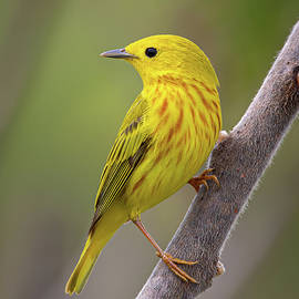 Yellow Warbler by Dale Kincaid