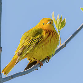 Yellow Warbler Perched by Morris Finkelstein