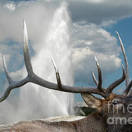 Yellowstone's Old Faithful Elk by Wildlife Fine Art