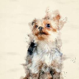 Yorkshire Terrier by Darren Wilkes