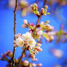 Yoshino Cherry tree blossom by Alexey Stiop