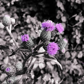 You Know How to Thistle, Don't You Steve? by Susan Maxwell Schmidt