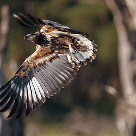 Young African fish eagle learning to hunt by Murray Rudd