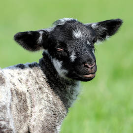 Young black and white lamb Wimborne Dorset by Loren Dowding