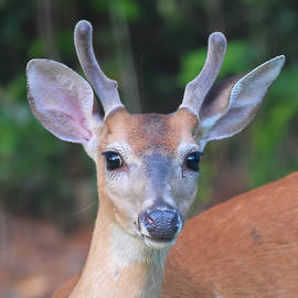 Young Buck Deer Portrait by Jerry Griffin