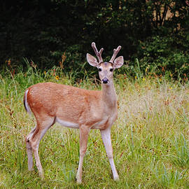 Young Buck Deer Pose by Gaby Ethington