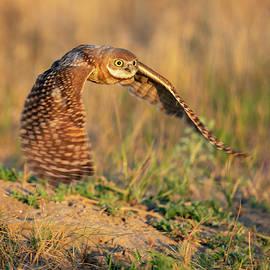 Young Burrowing Owl at Sunrise by Judi Dressler