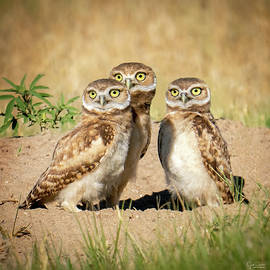 Young Burrowing Owl Trio by Judi Dressler