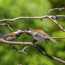 Young Chickadee Being Fed by Marv Vandehey