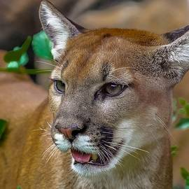 Young Cougar II by Susan Rydberg