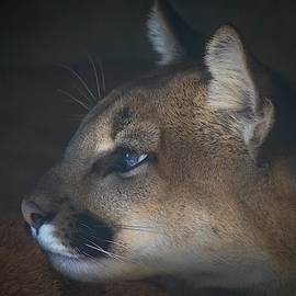 Young Cougar by Susan Rydberg