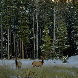 Young Elk In Meadow by Stephen  Vecchiotti