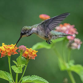 Young Male Hummingbird by TJ Baccari