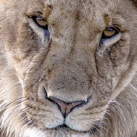 Young Male Lion - Rekero Pride by Eric Albright