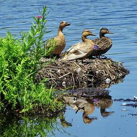 Young Mallards on a Swan's Nest by Lyuba Filatova