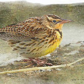 Young Meadowlark  by R christopher Vest