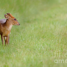 Young muntjac deer closeup and alone by Simon Bratt Photography LRPS