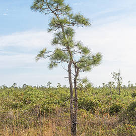 Young Pine Tree in the Croatan National Forest by Bob Decker