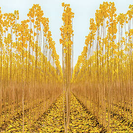 Young Poplar Trees