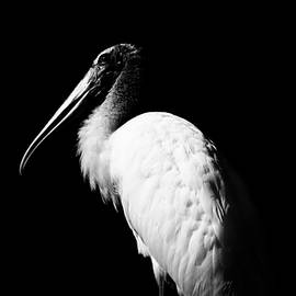 Young Wood Stork  BW by Christopher James