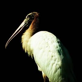 Young Wood Stork by Christopher James