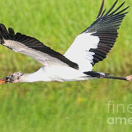 Young Wood Stork by Deborah Benoit