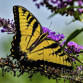 Youthful Easten Tiger Swallowtail by Cindy Treger