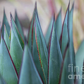 Blue Glow Agave Abstract by Connie Allen