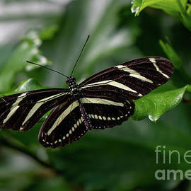 Zebra Butterfly by Linda Howes