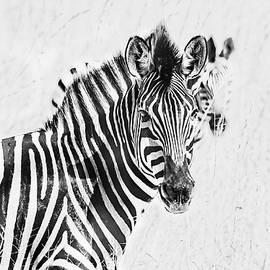 Zebra Duo High Key by Kay Brewer