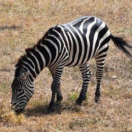 Zebra Eating Grass by Marta Kazmierska
