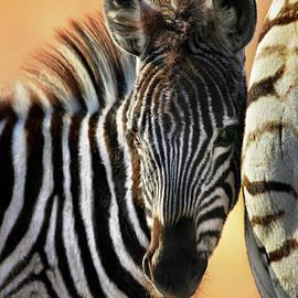 Zebra foal tender moment  by Etienne Outram