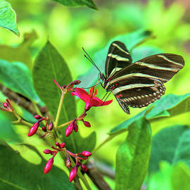 Zebra Longwing Butterfly  2967 by Matthew Lerman