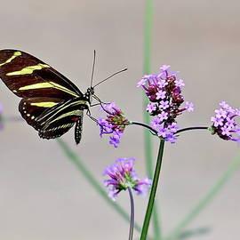 Zebra Longwing Butterfly by Lyuba Filatova