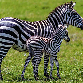 Zebra Mother and Foal by Eric Albright
