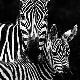 Zebra Mother and Foal Portrait - High Contrast by Eric Albright