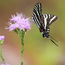 Zebra Swallowtail and a Blazing Star by Donna Kaluzniak
