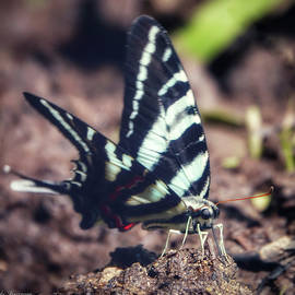 Zebra Swallowtail Visits Beach by Kathi Isserman