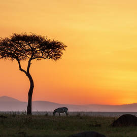 Zebra under an Acacia tree at dawn by Murray Rudd