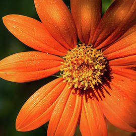 Zinnia at Brookside 9-20-20 254 by Don Johnson